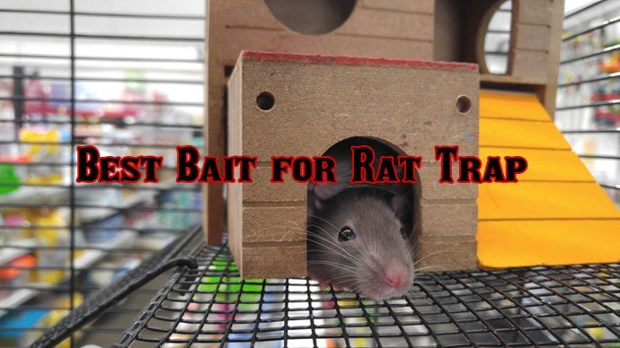What Is The Best Bait For Rat Trap That
